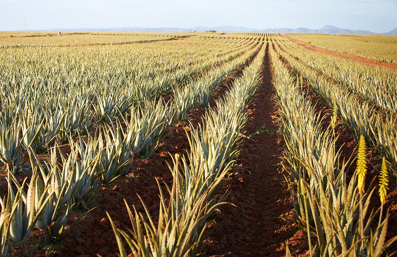 Aloe Vera Plantation at one of Forever Living Aloe Vera Fields
